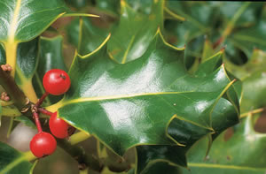holly-leaf